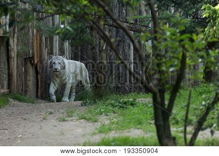White Tiger Or Bleached Bengal Tiger Walking Among Trees With A Wood Wall On Its Background