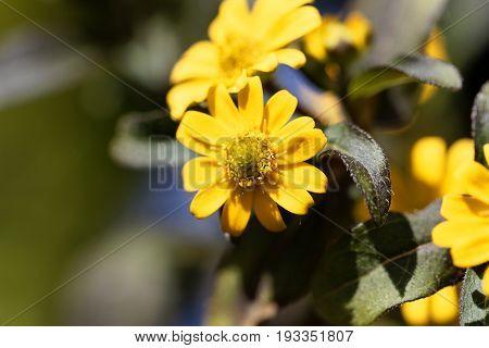 Flower of a Mexican creeping zinnia (Sanvitalia procubens)