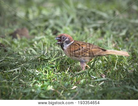 Alerted Tree sparrow (passer montanus) foraging on the ground in an ecological garden with green background