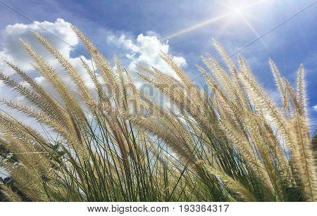 Beautiful grass flower (poaceae). Naturally beautiful flowers in fields.