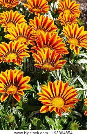 Beautiful colorful flowers of gazania in park closeup