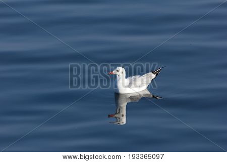 seagull float in the sea, nature life bird.