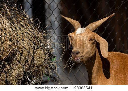 Brown goat eating hay in farm, agriculture concept.