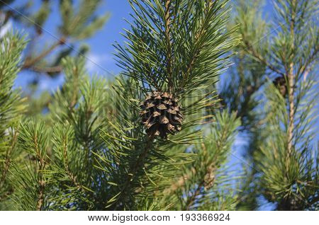 A fresh pine cone on a pine cone tree