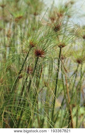 Group of green Egyptian papyrus sedge plant.