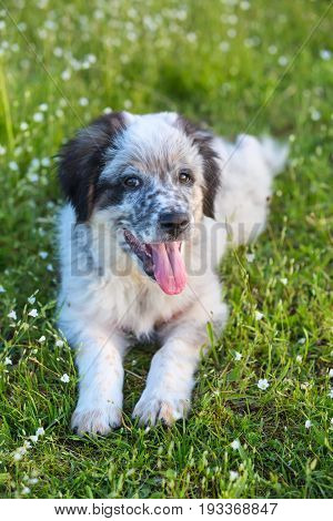 Cute white and black bulgarian shepherd dog puppy with red tongue in the grass closeup portrait