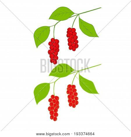 Branch with berries of Chinese Schisandra, in color, isolated on white. One of the best adaptogen herbs for stress relief.