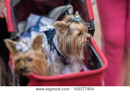 Funny Yorkshire Terriers in a red children's pram. Sometimes dogs for their owners replace children. Concept of friendship between man and dog