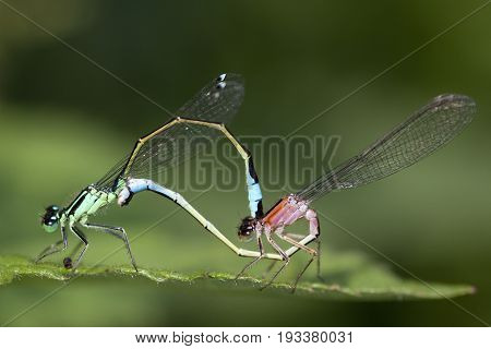 Blue-tailed Damselfly (Ischnura elegans) Mating Wheel resting on a leaf