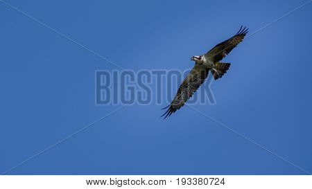 Osprey (Pandion haliaetus) flying on bluesky. wings flying on blue sky.