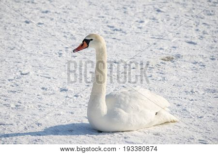 Swan on the snow. Bird and winter. Swan in winter in Novi Sad, Serbia.