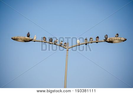 Pigeons on the street lamp. Pigeons sitting and resting on the street lamp. With clear blue sky in the background.