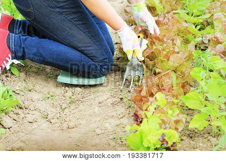 Gardening . Woman farmer takes care of the plants on the plantation .