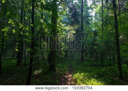 Misty forest in morning with illuminated spruce branch, Bialowieza Forest, Poland, Europe
