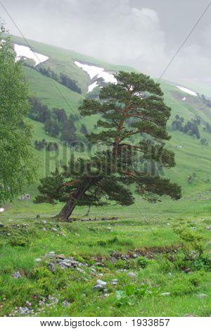 Alone Pine