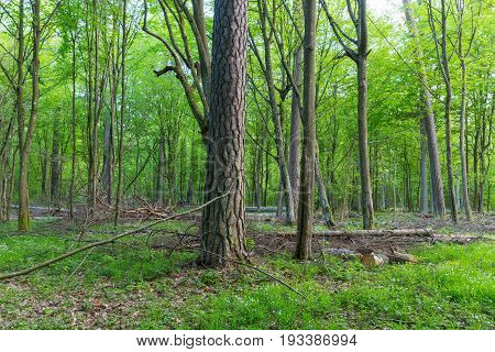 Two old pine and hornbeam trees in mixed stand in late spring, Bialowieza Forest, Poland, Europe