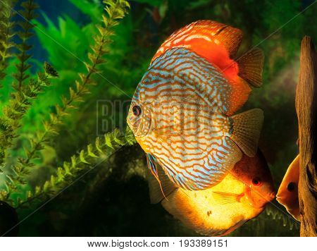 Discus - Symphysodon close-up. Freshwater fish of the Amazon