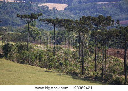 Araucaria tree (Araucaria angustifolia) nature profile pine