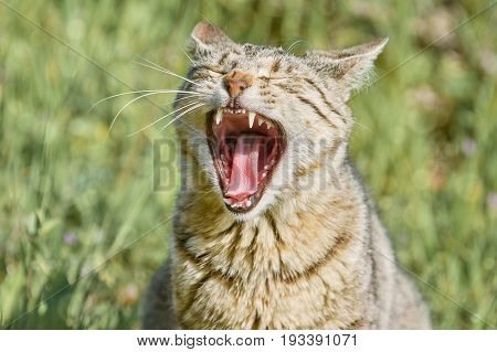 Yawning Stray Cat