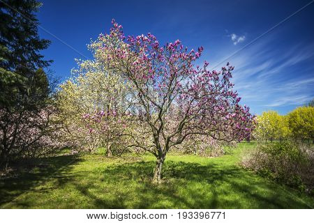 Beautiful Magenta Flowering Magnolia Tree In Grassy Clearing Between Other Blossoms And Landscaping