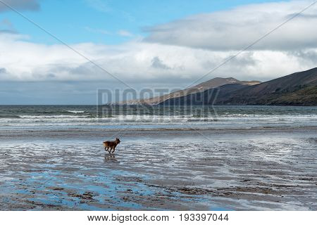 Dog Runs On Inch Beach In Ireland