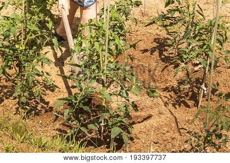 Woman working on a farm. growing vegetables. Tomato bushes and hoe. Digging weeds