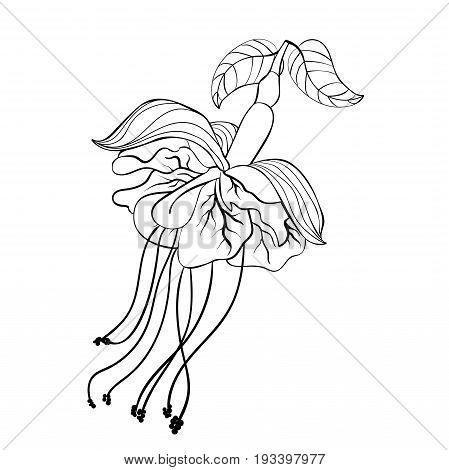 Coloring Fuchsia Flower Hybrid Ballerina. Vector Illustration