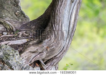 Closeup Of Old Cedar Tree Trunk Twisting And Leaning Away From The Side Of Cliff