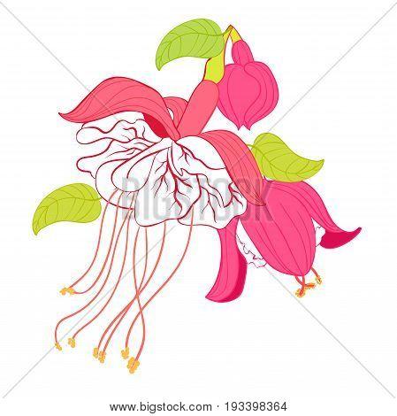 Fuchsia Flower Hybrid Ballerina. Vector Illustration
