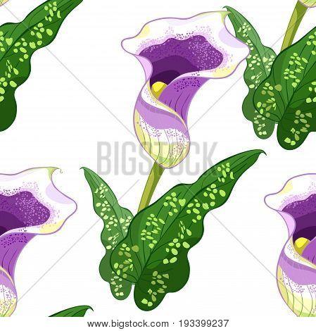 Seamless Pattern Calla Picasso A Flower Purple. Vector Illustration