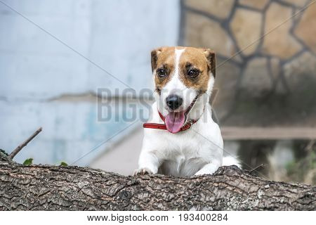 A cute dog Jack Russell Terrier going to jump over the felled tree