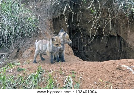 Little Furry Young Foxes