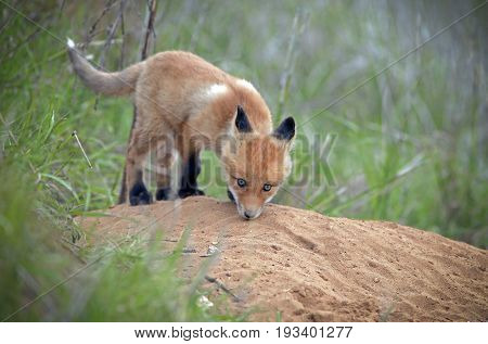 Beautiful Little Furry Fox