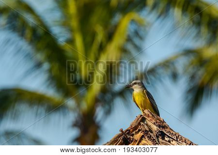 A Tropical Kingbird perched at a Vacation Resort in Costa Rica.