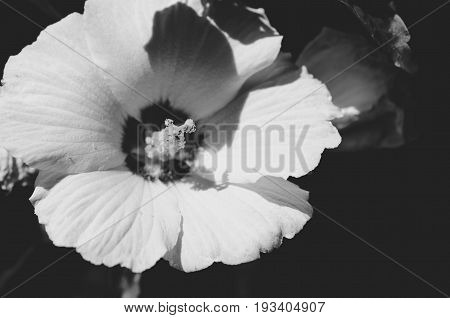 White chinese hibiscus flower stamen. Close up. Selective focus. Dark background. Black and white.