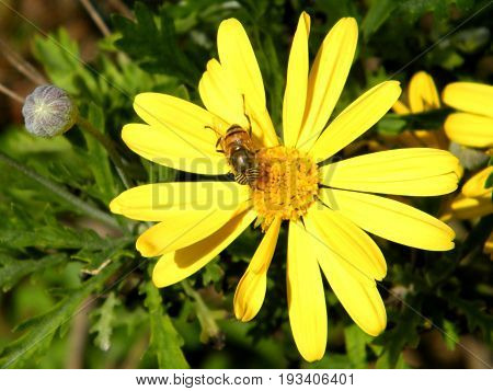 Bee on a Yellow Daisy in Or Yehuda Israel