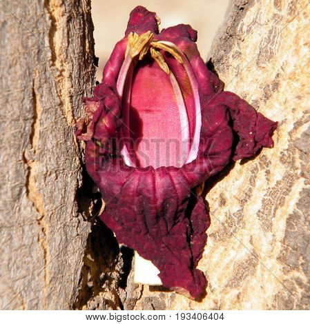 Flower petal on Kigelia pinnata trunk in Or Yehuda Israel
