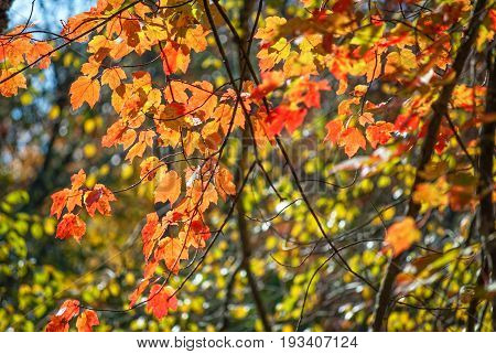 Sun shining through these Autumn leaves in Allaire State Park in New Jersey.