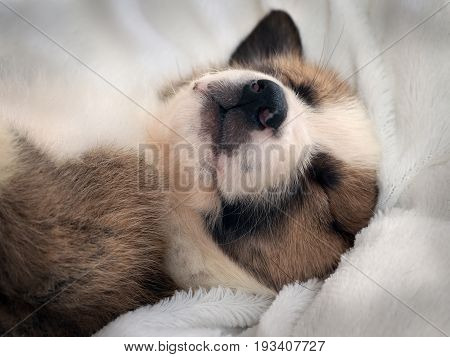 Small Cute Puppy Sleeping Comfortably On The Bed