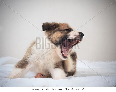The little puppy yawns on the bed