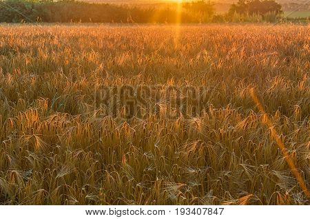 The field of the ripened wheat is lit with bright beams of the morning sun. Separate beams are visible. Krasnodar Krai Kuban Russia.