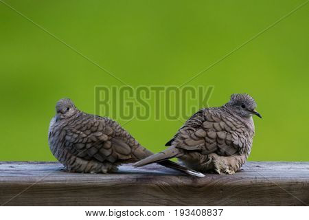 Love Doves Outdoors