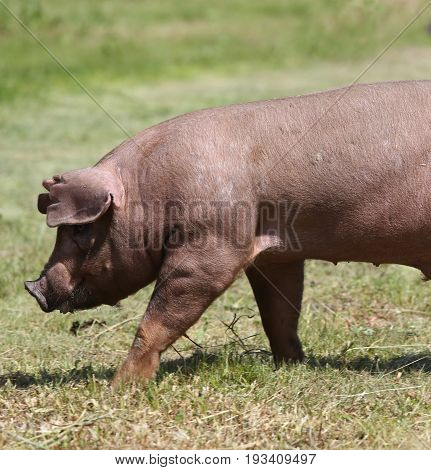 Duroc breed pig walking at animal farm on pasture