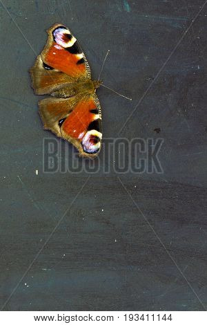 Colorful butterfly (Aglais io) on a dark wooden table surface