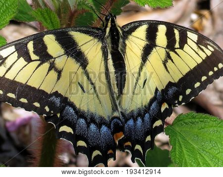 Eastern Tiger Swallowtail Butterfly in forest of Mclean near Washington DC 21 April 2016 USA