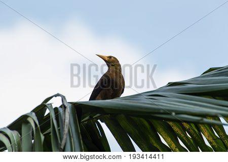 The Amazon weaver bird, Lake Sandoval, Peru