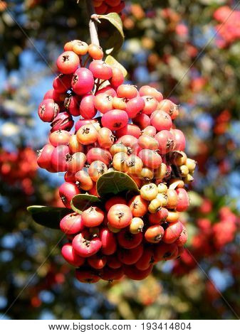 Cluster of Heteromeles arbutifolia berries on a tree in park of Bar-Ilan University near Ramat Gan Israel