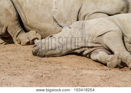 An young rhinoceros lies at his mother's rhinoceros