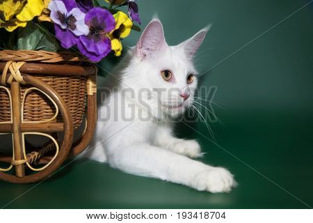The beautiful white cat Maine Coon lies near the basket with flowers. Portrait of a kitty on a studio background