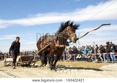 Horse Heavy Pull Tournament Leash